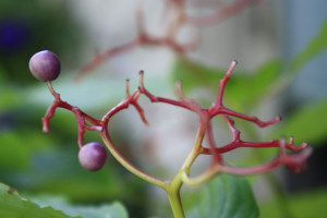 Alternate-Leaf-Dogwood-berry-11.jpg