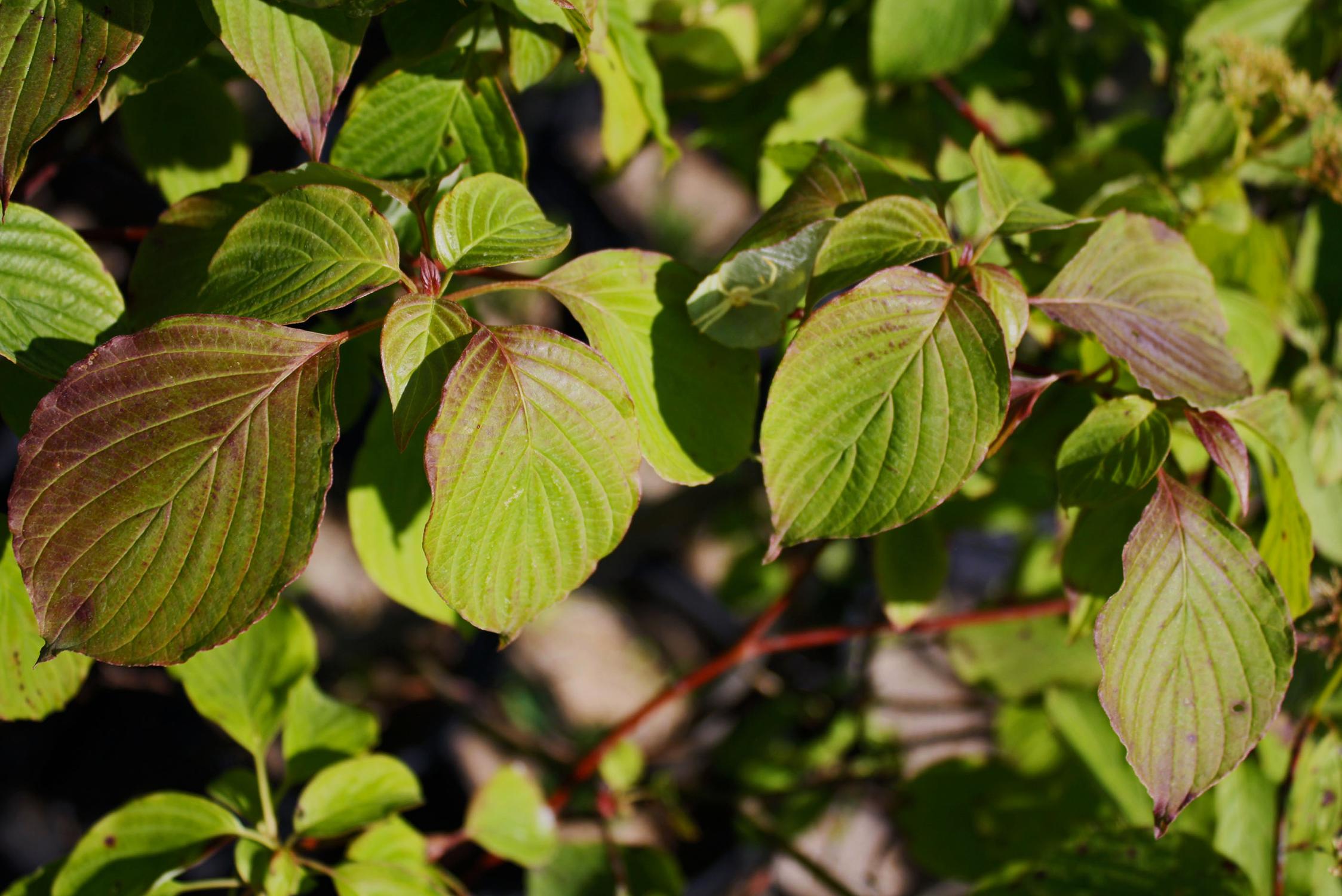 Alternate Leaved Dogwood Ontario Native Plant Nursery
