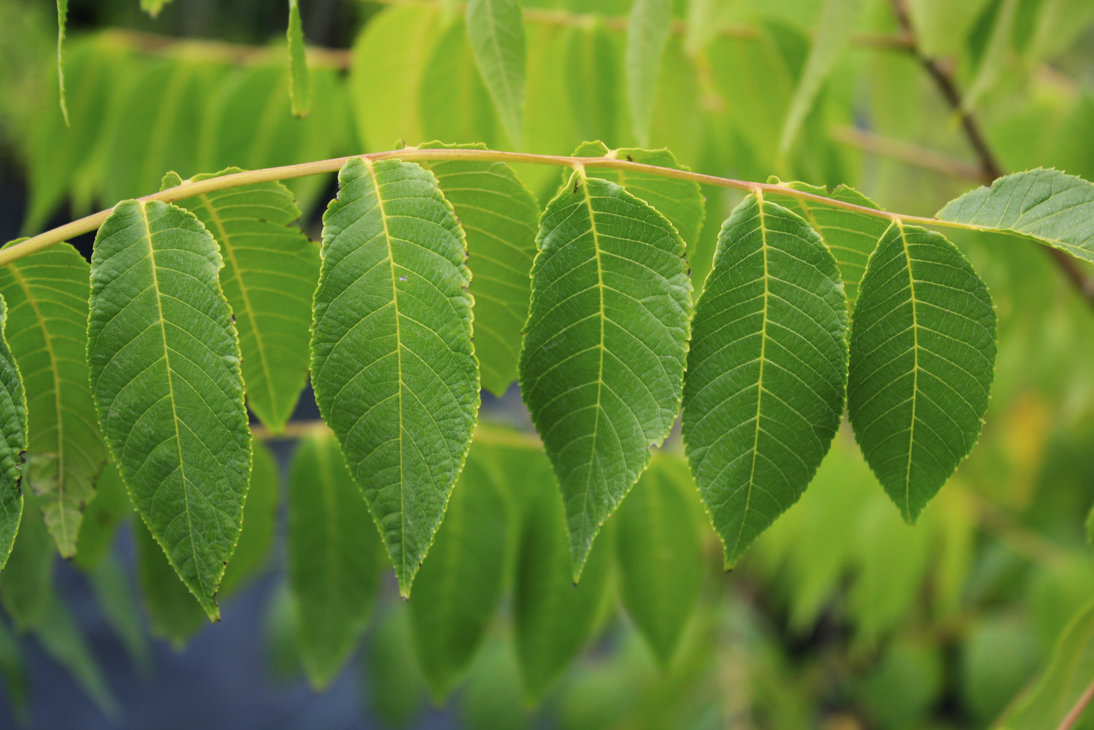 how to get native trees black