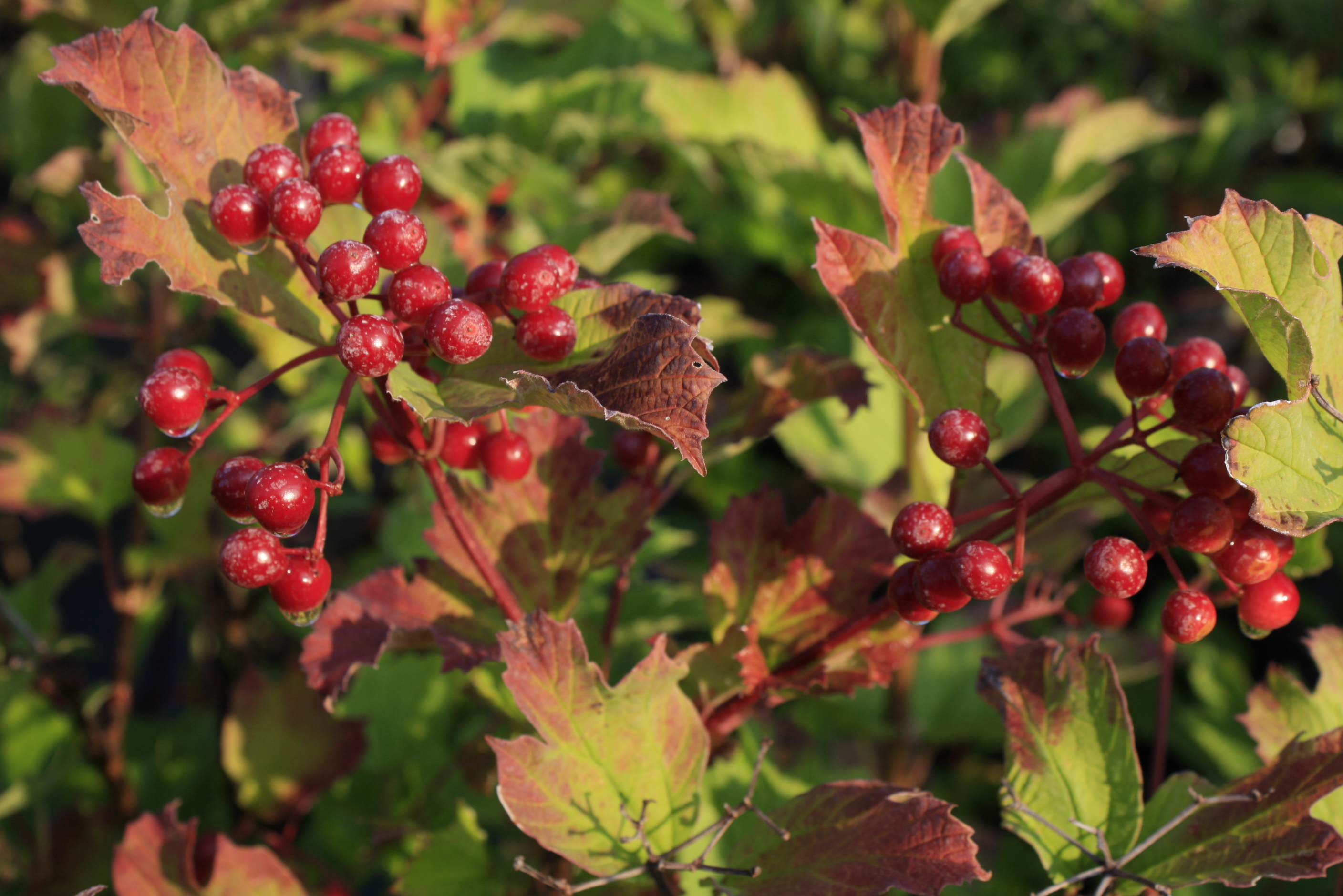 Highbush Cranberry leaf - Ontario Native Plant Nursery ...