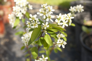 Running Serviceberry