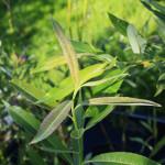 Slender Willow