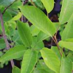 Smooth Serviceberry