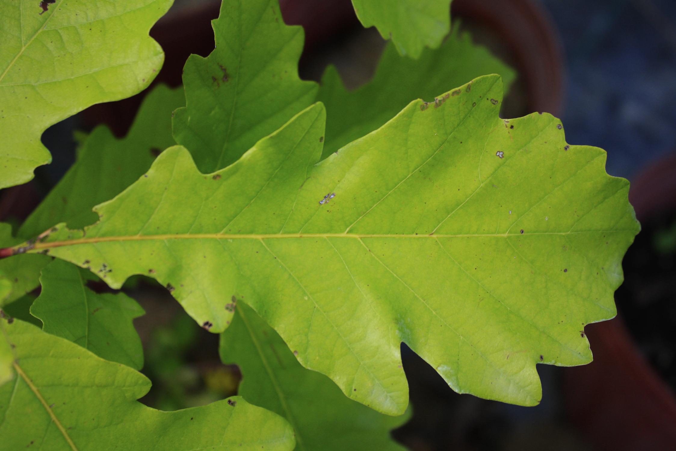 White Oak Leaf ~ Swamp white oak ontario native plant nursery container
