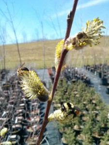 Willow with bees