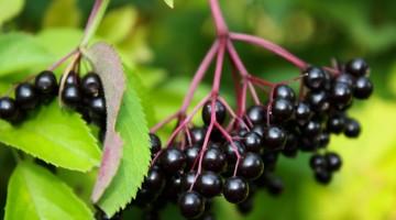Common Elder berry