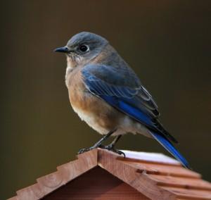 bluebird-1865492