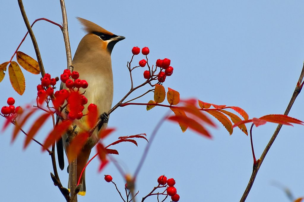 Five Native Berry-Producing Trees and Shrubs for Birds