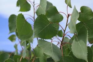 May - Poplar (Populus spp.)