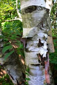 June - Birch (Betula spp.)